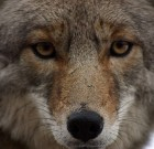 Yippee Ki Yay! The WeHo City Council Will Consider a Coyote Management Plan