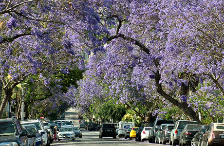 Purple Snow? Nope, Just WeHo's Jacaranda's Full Bloom