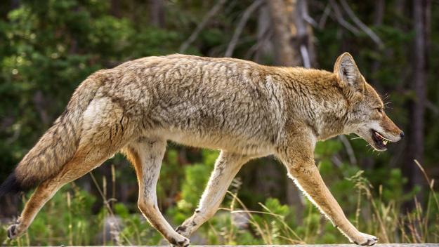 Residents of WeHo's Eastside Say Their Neighborhood Is Getting Coyote Ugly