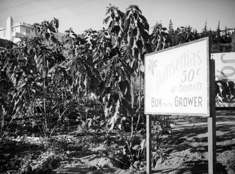 A sign in front of a poinsettia field near Sunset Hills Road and Doheny Road in West Hollywood advertises poinsettias for 50 cents a bunch. The top floor of the Doheny Courtyard Apartments can be seen in the upper left hand corner. 1937 (Photo courtesy of the Los Angeles Public Library )
